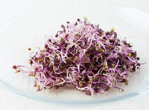 Rödkål och några rädissorter kan ge vackert purpurfärgade groddar