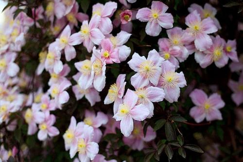 Clematis montana var. rubens, röd bergklematis – en kraftigväxande sort med mycket blommor.