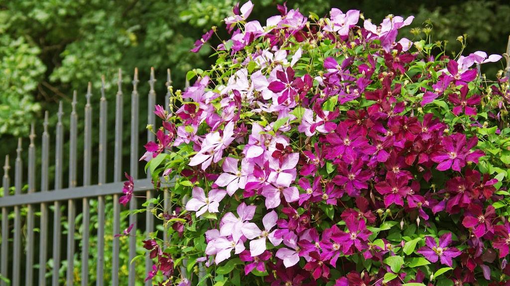 Underbara klematis – den vackraste bland klätterväxter.