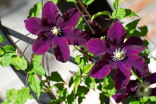 Clematis 'Étoile Violette'tillhör Viticella-Gruppen.