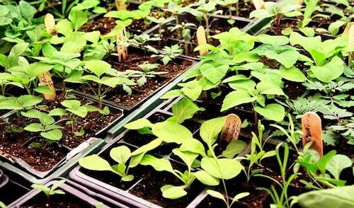 Frösådden vattnas lättast underifrån på brickor. Varmt och fuktigt när fröerna gror, svalare och ljust när de växer.