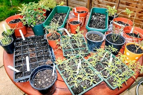 Planera för frösådden, det kan behövas mycket plats när de växer upp.