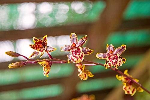 Orkidéer blommar om när de har rätt placering, får rätt mängd ljus och luftfuktighet.