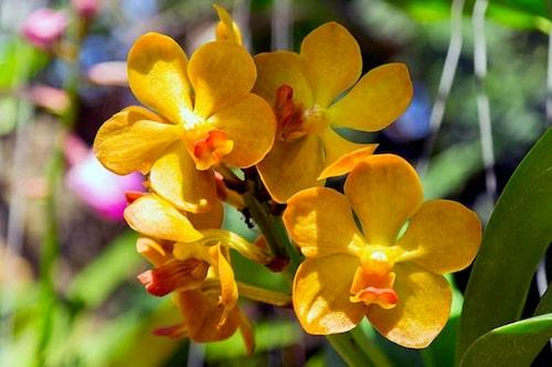 Viktigt att vattna orkidéer rätt – de ska torka upp emellanåt.
