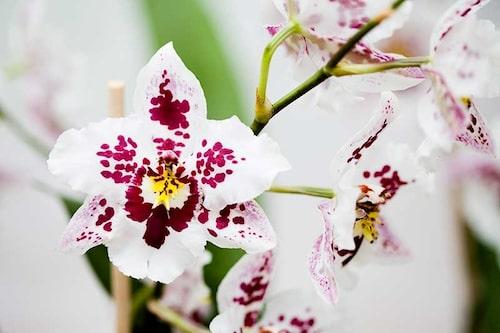Skydda din orkidé när du fraktar hem den! Annars kan blomknopparna falla av.