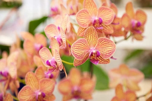 Ibland behöver orkidéerna semester – låt dem vila för att blomma om igen.