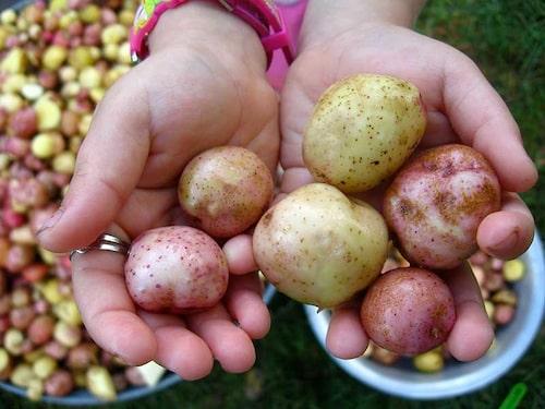 Tidiga sorter som man äter färska har tunna skal och kan tas upp i den storlek som man själv föredrar.
