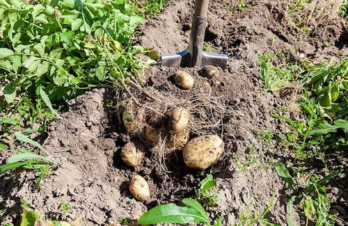 Potatis skördas enklast med grep på friland, men spade går också bra. Börja gräva utifrån och in. Ta ett grepp om den blast som finns kvar och dra samtidigt som du bänder med grepen under.