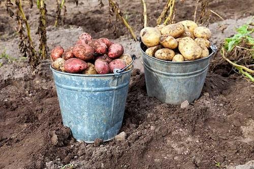Olika potatissorter skördas vid olika tidpunkter. Det finns sorter som lämpar sig bättre för vinterförvaring.