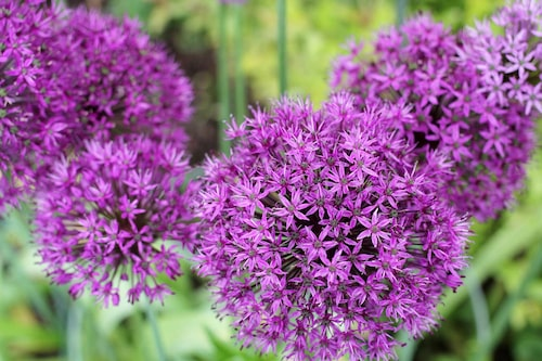 Allium har en stor variation av blomsterlökar som rådjuren ratar.