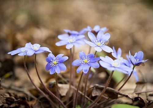 Rådjur gillar inte blåsippor. En jättefin blomma at ha i lunden, i kruka och även som kantväxt.