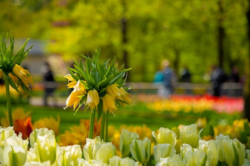 Kungskronor är blomsterlökar som lämnas ifred av rådjur. Testa att blanda in dem bland tulpanerna, så kanske du får behålla dem.