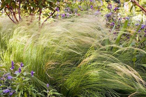 Svansfjädergräs är ett vackert prydnadsgräs som rådjuren motstår. Och skulle de ge sig på det tidigt på våren är ingen större skada skedd för gräs växer ut igen.