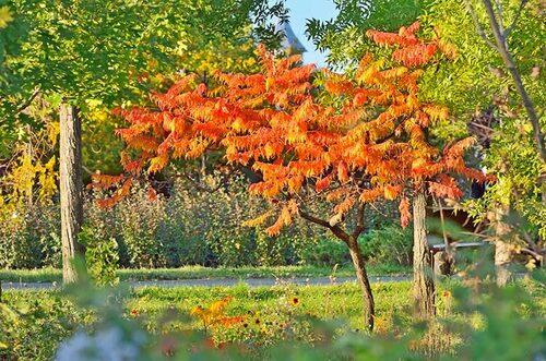 Rönnsumak gillas inte av rådjur. Sumaker finns som flerstammiga buskar och träd, och ger vackra höstfärger.