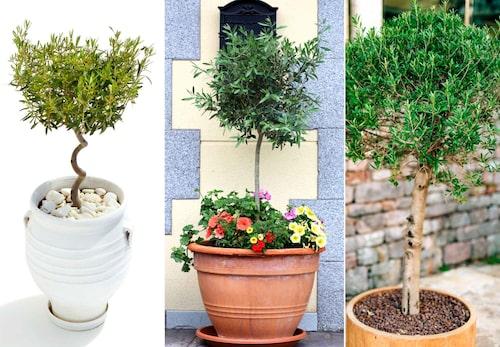 Olivträd är lättskötta om man odlar dem i kruka och tar in dem på vintern.