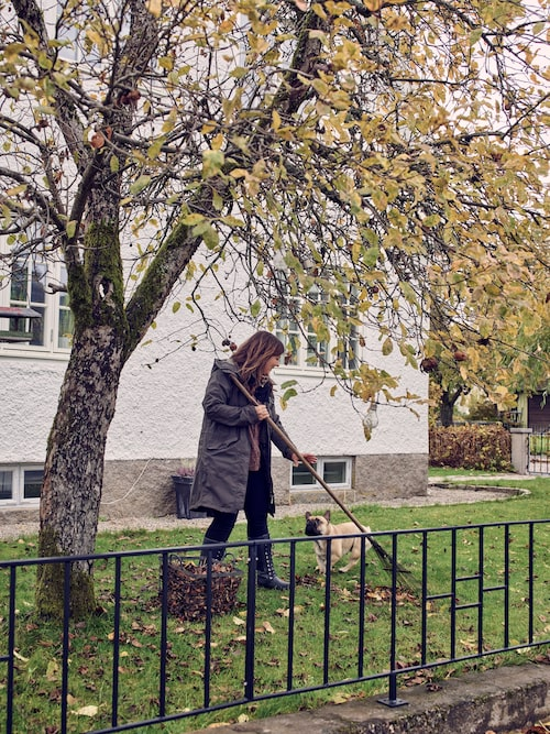 Äppelträdet på framsidan har burit mycket frukt i år, och gett ännu fler löv. Bulldogen Ture vill gärna vara med och kratta.