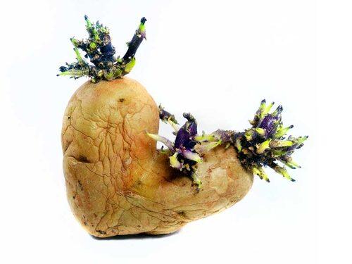 Förgrodd potatis med bra storlek på groddarna.