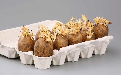 Potatis som förgros i äggkartong, redo att sättas ut.