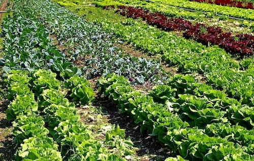 Det finns mängder av sallatssorter, men även fina bladgrönsaker som används till sallader.
