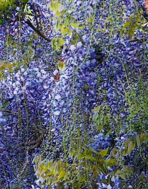 Ett ymnigt blåregn ger mer blå blommor uppåt väggarna. Blåregn doftar runt sittplatsen och du låter den klättra på en pergola.