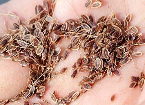 Se till att de insamlade fröerna är ordentligt torkade innan de slutförvaras.