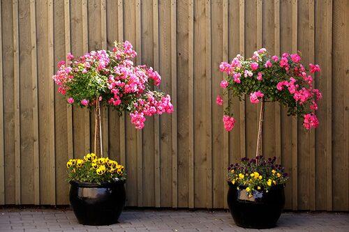 Stamrosor går att odla i kruka. Det är rosor som ympats på stam.