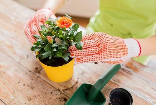 Plantera om en ros till större kruka direkt när du köpt den.