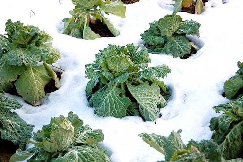 Flera bladgrönt olika kålsorter, vintersallat, spenat och några asiatiska bladgrönsaker håller sig fräscha trots vintern.