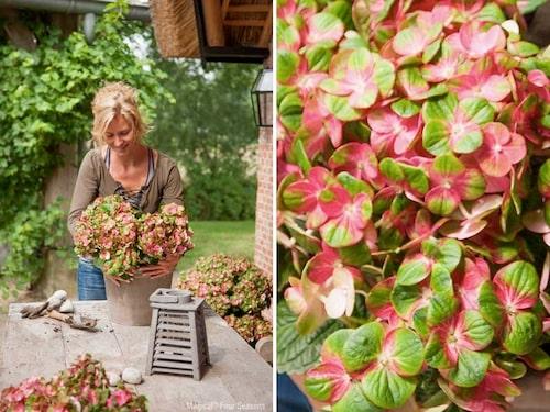 Magical-hortensior går att odla både inne och ute, i kruka och på friland. Här syns 'Magical Greenfire'.