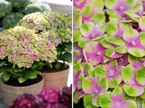 'Magical Amethyst' har gröna blommor med rosa eller blå detaljer, som skiftar till lila och sedan till smaragdgrönt.