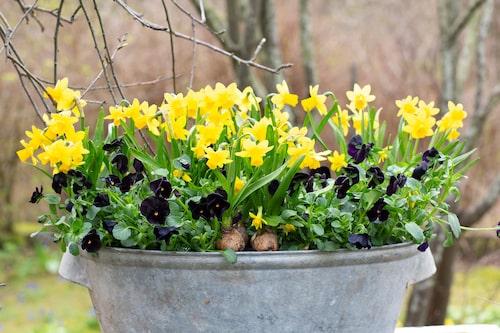 Placera påskliljorna i en rejäl zinkbalja och kombinera med penséer. Penséerna blir lägre än minipåskliljorna så tänk på hur du komponerar planteringen så att alla blommor syns.