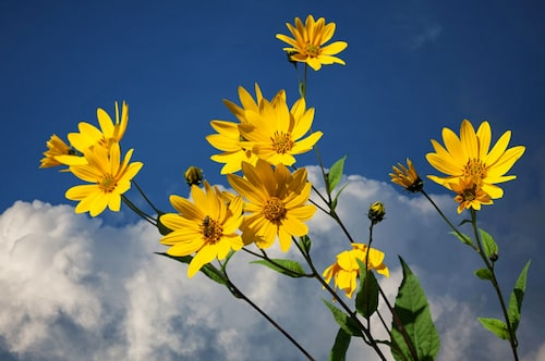 Jordärtskockans blomma. Här syns släktskapet med solrosen.