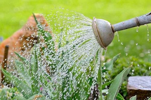 Vattna gärna med vattenkanna för att kunna dosera och rikta vattnet rätt.