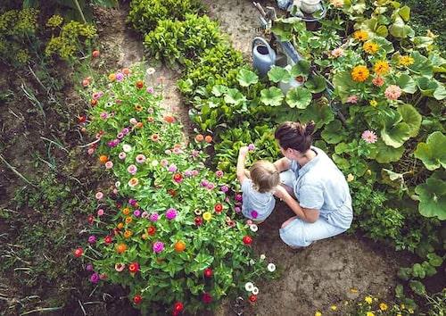 Plantera även blommor i köksträdgården för pollinerare och för att njutas. Sätt några rader för att kunna plocka in snittblommor.