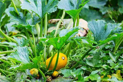 Även om vissa grönsaker har grunda rötter och inte kräver mer än 20 cm jorddjup, så tjänar man på att det dubbla för att slippa vattna lika ofta.
