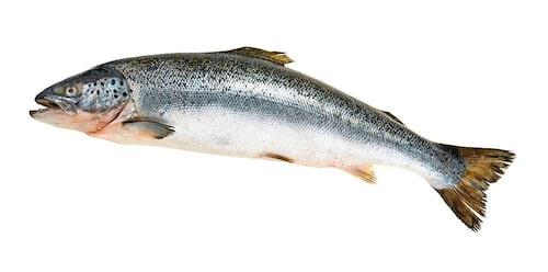 Odlad lax innehåller mer omega-3 än vildfångad. Foto: Shutterstock.