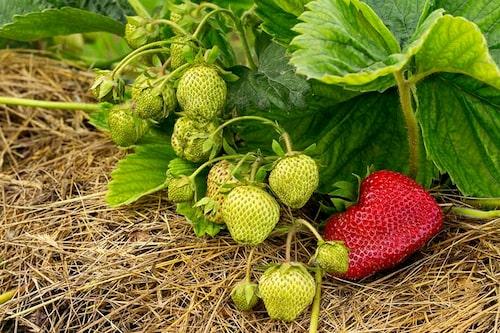 Täck marken under jordgubbarna med halm eller annat material för mindre ogräsrensning och renare bär.
