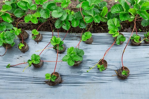 Håll koll på revorna som stjäl näring från huvudplantan. Du kan spara de kraftigaste och göra nya jordgubbar.