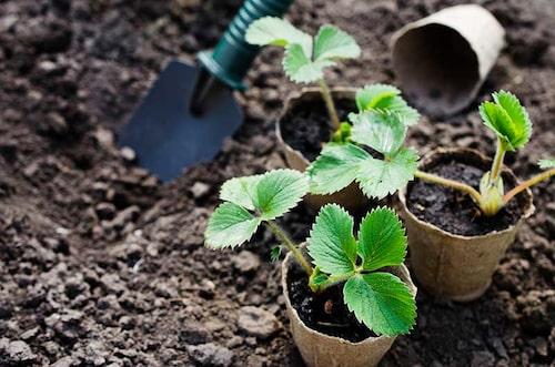 Man ska inte plantera jordgubbar för tätt, för att undvika sjukdomar. Följ råden för avstånd.