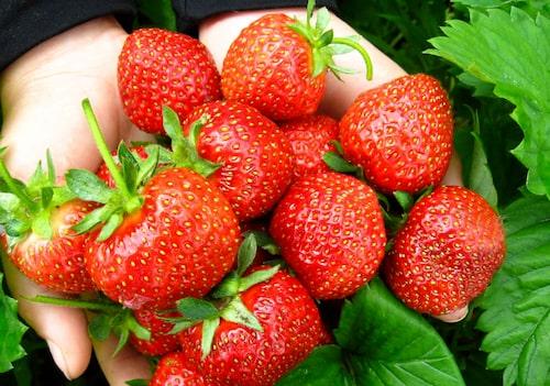 Det finns många härdiga jordgubbssorter för svenska odlingsförhållanden. Odla egna för mer smak!