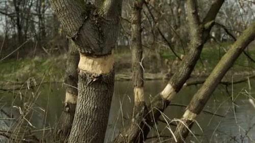 Ringbarka ett träd innebär att man stryper trädets tillförelse av näring och vatten från roten.