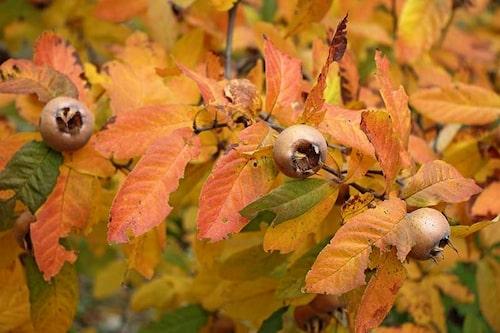 Mispeln kan få fina gulbruna färger på hösten och frukterna är bruna och dekorativa på sitt sätt.