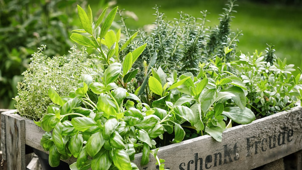 Kryddväxter är både vackra och doftar gott samtidigt som de är goda och nyttiga att äta.