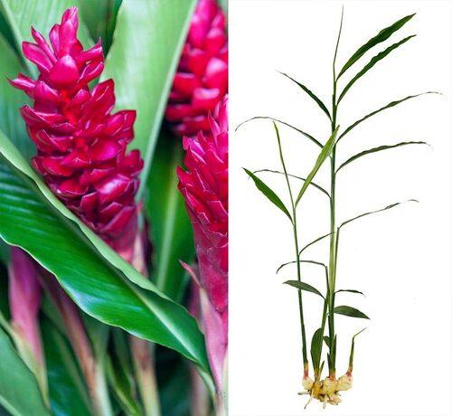 Ingefära får häftiga blommor, men det är sällan de hinner utvecklas hos oss.