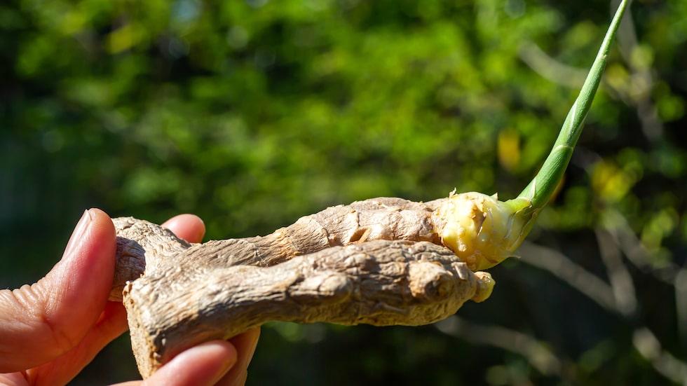 Knölarna på ingefära utvecklas till meterhöga majsliknande plantor, som flyttas ut när frostrisken är över.