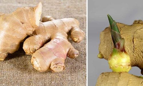Ingefärans knölar (rhizom) gror väldigt lätt. Sätt i jorden, så har du en planta inom några veckor.