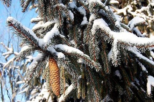 Åttio procent av de svenska julgranarna är rödgran Picea abies