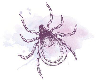 En vuxen fästing är mellan 3 och 4 centimeter lång, nymfen är omkring 1 millimeter lång.