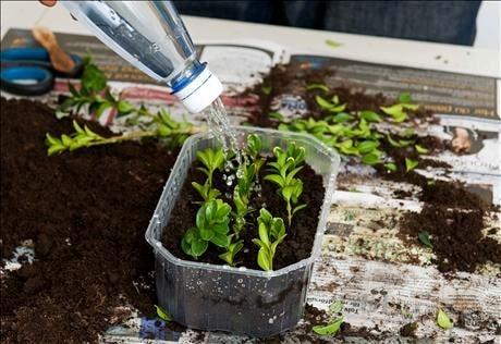 Sticklingar av buxbom blir snabbt nya små plantor. Billigt sätt att föröka buxbom.