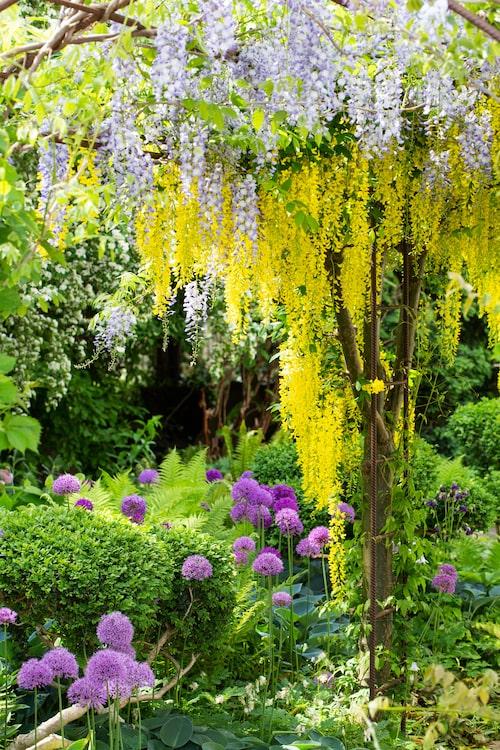 Den vackra pergolagången med gullregn och Allium är inspirerad av en likadan kombo i den engelska trädgården Barnsley House.